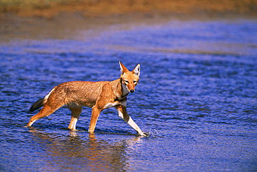 Ethiopian Wolf (Canis simensis) crossing stream, Bale Mountains National Park, Ethiopia, 2004 Ethiopian Wolf Conservation Project  -  Laurent Geslin/ npl