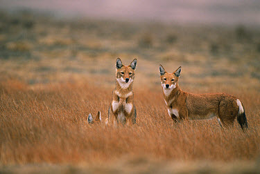 Ethiopian Wolf (Canis simensis) alert trio, Bale Mountains National Park, Ethiopia, 2004 Ethiopian Wolf Conservation Project  -  Laurent Geslin/ npl