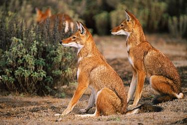 Ethiopian Wolf (Canis simensis) pair, Bale Mountains National Park, Ethiopia, 2004 Ethiopian Wolf Conservation Project  -  Laurent Geslin/ npl