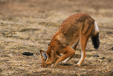 Ethiopian Wolf (Canis simensis) digging for mouse prey, Bale Mountains National Park, Ethiopia, 2004 Ethiopian Wolf Conservation Project  -  Laurent Geslin/ npl