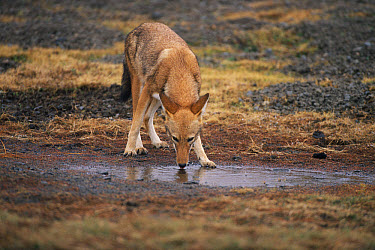 Ethiopian Wolf (Canis simensis) drinking from a puddle, Bale Mountains National Park, Ethiopia, 2004 Ethiopian Wolf Conservation Project  -  Laurent Geslin/ npl