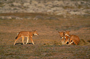 Ethiopian Wolf (Canis simensis) dominant male approaches group, Bale Mountains National Park, Ethiopia, 2004 Ethiopian Wolf Conservation Project  -  Laurent Geslin/ npl