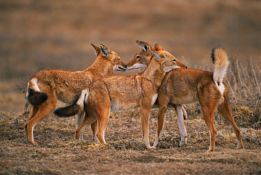 Ethiopian Wolf (Canis simensis) group interacting, Bale Mountains National Park, Ethiopia, 2004 Ethiopian Wolf Conservation Project  -  Laurent Geslin/ npl
