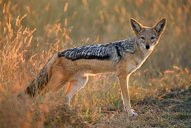 Black-backed Jackal (Canis mesomelas) in dry grass, Kgalagadi Transfrontier National Park, Namibia  -  Laurent Geslin/ npl