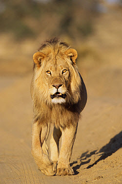 African Lion (Panthera leo) male walking towards camera, Gemsbok National Park, Kalahari Desert, Namibia  -  Laurent Geslin/ npl