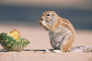 Striped Ground Squirrel (Xerus erythropus) feeding on desert melon, Namibia  -  Laurent Geslin/ npl