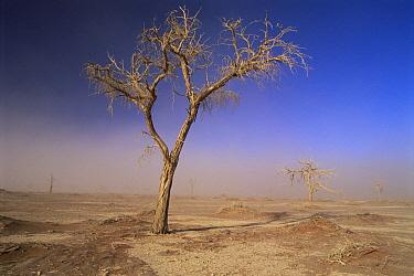 Camelthorn (Alhagi maurorum) in sandstorm, Namib Desert, Namibia  -  Laurent Geslin/ npl