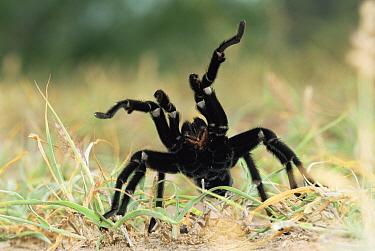 Texas Brown Tarantula (Aphonopelma hentzi) in defensive posture, Texas  -  Rolf Nussbaumer/ npl