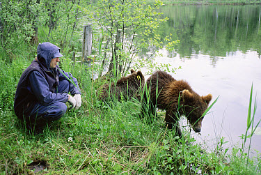 Brown Bear (Ursus arctos) 18-month-old yearling pair that returned to rehab center after release with warden, Russia  -  Eric Baccega/ npl