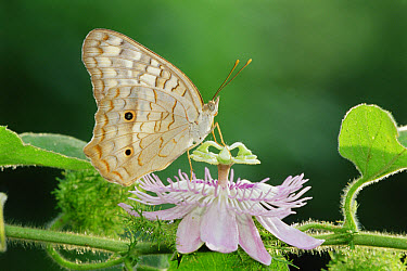 White Peacock (Anartia jatrophae) butterfly feeding on Passion Flower (Passifolora foetida), Texas  -  Rolf Nussbaumer/ npl