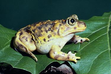 Eastern Spadefoot Toad (Scaphiophus holbrooki) on leaf, Florida  -  Barry Mansell/ npl