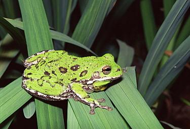 Barking Treefrog (Hyla gratiosa) portrait, Florida  -  Barry Mansell/ npl