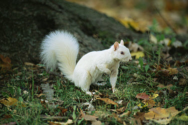 Eastern Gray Squirrel (Sciurus carolinensis) albino on forest floor, Olney, Illinois  -  Mark Payne-Gill/ npl