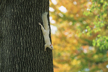 Eastern Gray Squirrel (Sciurus carolinensis) albino on tree trunk, North America  -  Mark Payne-Gill/ npl
