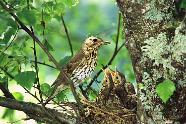 Song Thrush (Turdus philomelos) parent with begging chicks in nest, France  -  Dave Watts/ npl