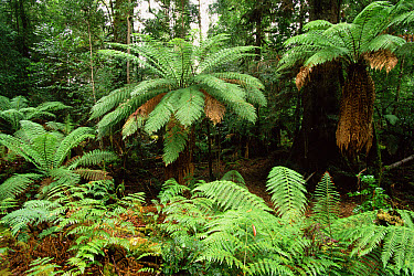 Tree ferns in temperate rainforest, Tasmania, Australia  -  Dave Watts/ npl