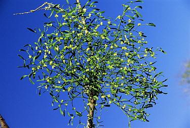 Mistletoe (Viscum album) with berries, France  -  Dave Watts/ npl