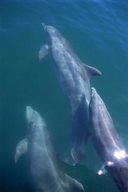 Bottlenose Dolphin (Tursiops truncatus) pod bow riding, Sea of Cortez, Mexico  -  Mark Carwardine/ npl