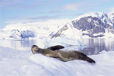 Leopard Seal (Hydrurga leptonyx) on ice, Antarctica  -  Mark Carwardine/ npl