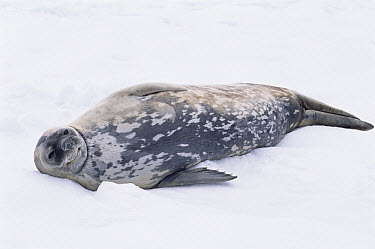 Weddell Seal (Leptonychotes weddellii) resting in snow, Deception Island, Antarctica  -  Mark Carwardine/ npl