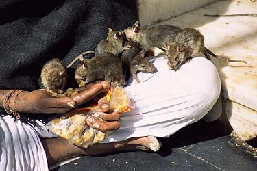 Holy man with temple rats, Karni Mata Temple, Deshnoke, Bikaner, Rajasthan, India  -  Toby Sinclair/ npl