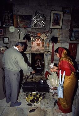 Worhippers with temple rats, Karni Mata Temple, Deshnoke, Bikaner, Rajasthan, India  -  Toby Sinclair/ npl