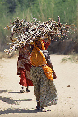 Women carrying wood illegally gathered outside Ranthambhore National Park, Rajasthan, India  -  Toby Sinclair/ npl