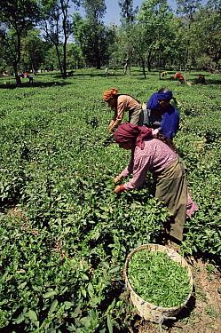 Women harvesting tea, Kangra valley, Himachal Pradesh, India  -  Toby Sinclair/ npl
