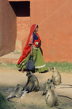 Hanuman Langur (Semnopithecus entellus) group and village woman, Ranthambhore National Park, Rajasthan, India  -  Toby Sinclair/ npl