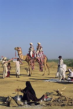 Rabhari family with domesticated Dromedary Camel (Camelus dromedarius) at camp, Kutch, Gujarat, India  -  Toby Sinclair/ npl