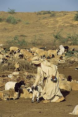 Domestic Sheep (Ovis aries) with Rabhari shepherd, Kutch, Gujarat, India  -  Toby Sinclair/ npl