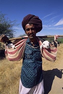 Rabhari shepherd carrying Domestic Goat (Capra sp) kids, Kutch, Gujarat, India  -  Toby Sinclair/ npl