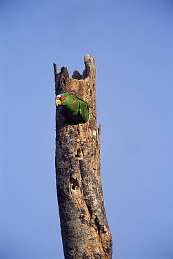 White-fronted Parrot (Amazona albifrons) in nest hole, Yucatan, Mexico  -  Patricio Robles Gil/ npl