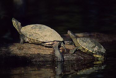 Turtle (Pseudemys sp) resting on log at night, Mexico  -  Patricio Robles Gil/ npl
