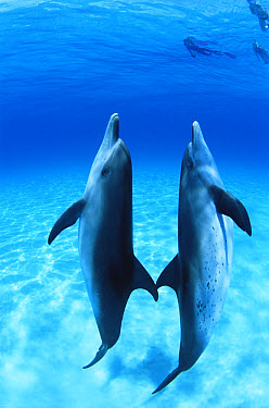 Atlantic Spotted Dolphin (Stenella frontalis) pair, Bahamas  -  Todd Pusser/ npl
