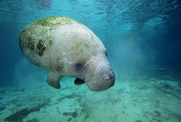 West Indian Manatee (Trichechus manatus) portrait, threatened, Crystal River, Florida  -  Todd Pusser/ npl