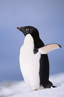 Adelie Penguin (Pygoscelis adeliae) portrait with wings raised, Antarctica  -  Todd Pusser/ npl