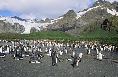 King Penguin (Aptenodytes patagonicus) colony, South Georgia Island  -  Todd Pusser/ npl