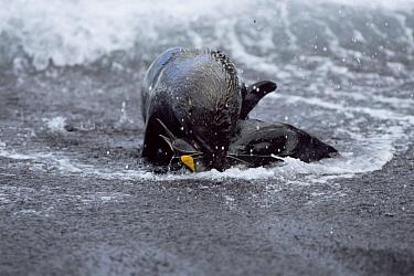 Antarctic Fur Seal (Arctocephalus gazella) killing a King Penguin (Aptenodytes patagonicus), Marion Island, Sub-antarctica  -  Ian Mccarthy/ npl