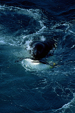 Orca (Orcinus orca) with captured King Penguin (Aptenodytes patagonicus) in mouth, Marion Island  -  Ian Mccarthy/ npl