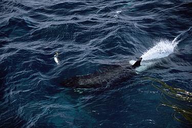 Orca (Orcinus orca) chasing King Penguin (Aptenodytes patagonicus) underwater, Marion Island, sub-Antarctica  -  Ian Mccarthy/ npl