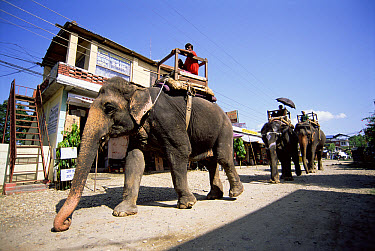 Asian Elephant (Elephas maximus) group of working elephants with riders (Mahout), Sauraha, Chitwan National Park, Nepal  -  Andrew Parkinson/ npl