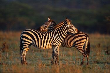 Burchell's Zebra (Equus burchellii) pair allogrooming, Masai Mara, Kenya  -  Anup Shah/ npl