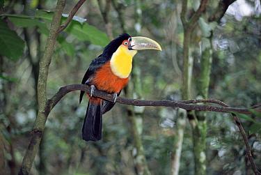 Red-breasted Toucan (Ramphastos dicolorus) in rainforest, Iguacu National Park, Brazil / Argentina  -  Gabriel Rojo/ npl
