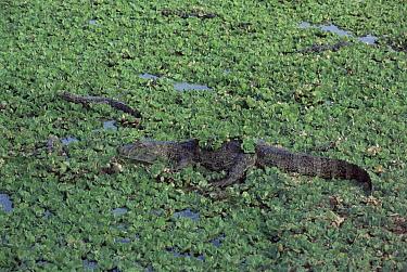 Broad-snouted Caiman (Caiman latirostris) amongst water lettuce, Iguacu National Park, Argentina  -  Gabriel Rojo/ npl