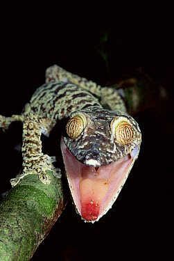 Common Flat-tail Gecko (Uroplatus fimbriatus) in threat display, Nosy Mangabe, Madagascar  -  Nick Garbutt/ npl
