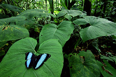 Morpho Butterfly (Morpho achilles) on leaf in tropical rainforest, Amazonia, Ecuador  -  Nick Gordon/ npl