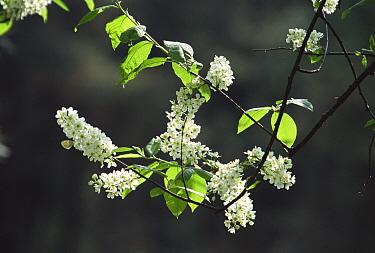 Bird Cherry (Prunus padus) blooming, Poland  -  Artur Tabor/ npl