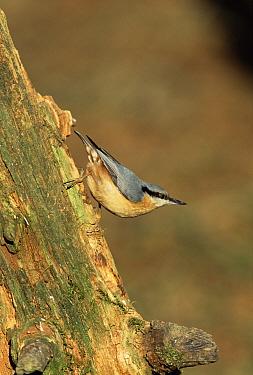 Wood Nuthatch (Sitta europaea), Sussex, United Kingdom  -  George Mccarthy/ npl