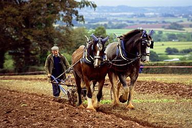 Domestic Horse (Equus caballus) group used to plough a field, Somerset, United Kingdom  -  Colin Seddon/ npl
